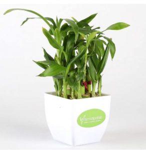 bamboo-plant-gift-for-office-desk